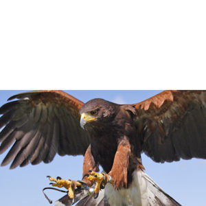 Bird of Prey Falconry Experience