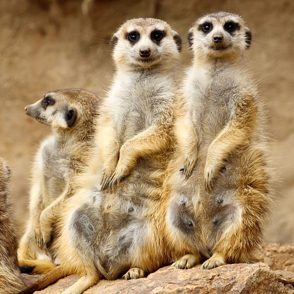 meet the meerkats experience for two