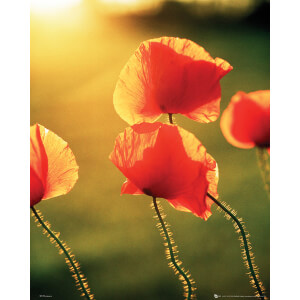 Poppies Glow - Mini Poster - 40 x 50cm