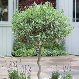 Olive Tree Meditteranean 35L
