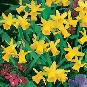 Dwarf Daffodil - 1L
