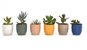 Succulent in Cella pot 7cm