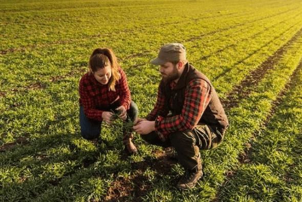 Bauer und Bäuerin untersuchen ihre Pflanzen in ihrem Feld.