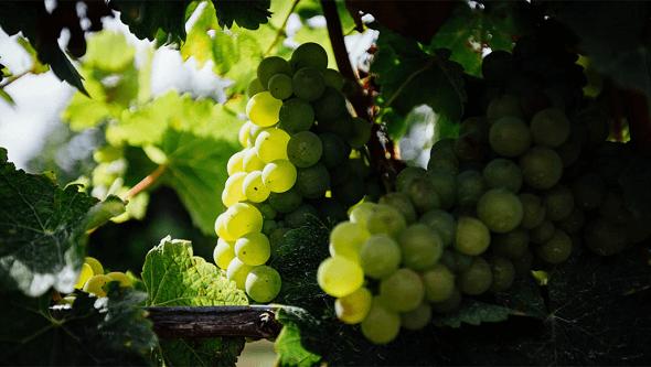 Le Raisin Vinanza, sous-produit de l'industrie viticole